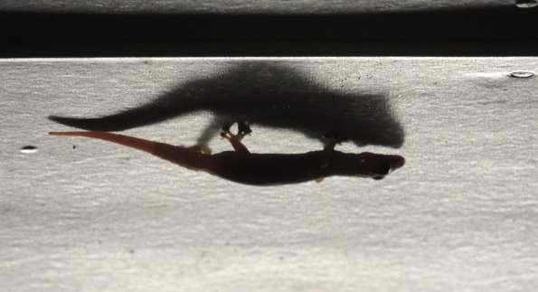 Gecko shadow