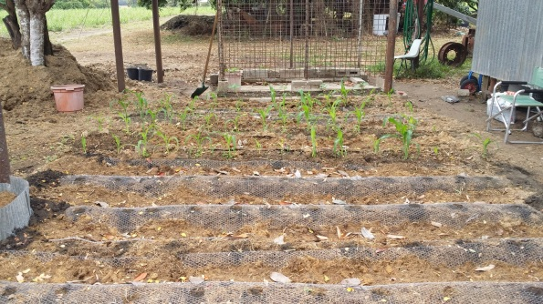 The corns seems to be growing well. I've put wire over the ground to stop the bandicoots from digging.