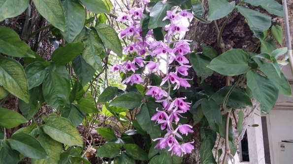 The Cooktown Orchids are in bloom so I just had to get a shot of them!
