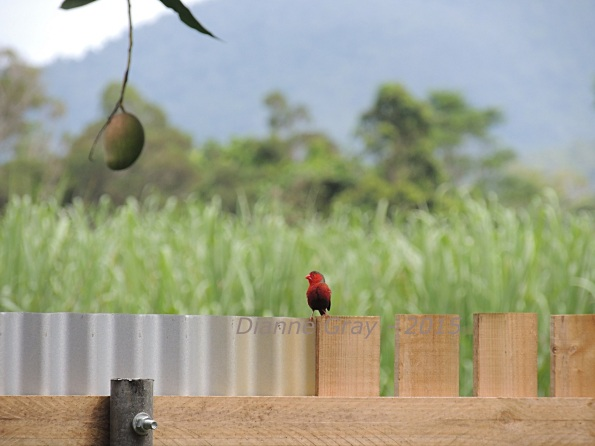 Red finch and mango smaller version