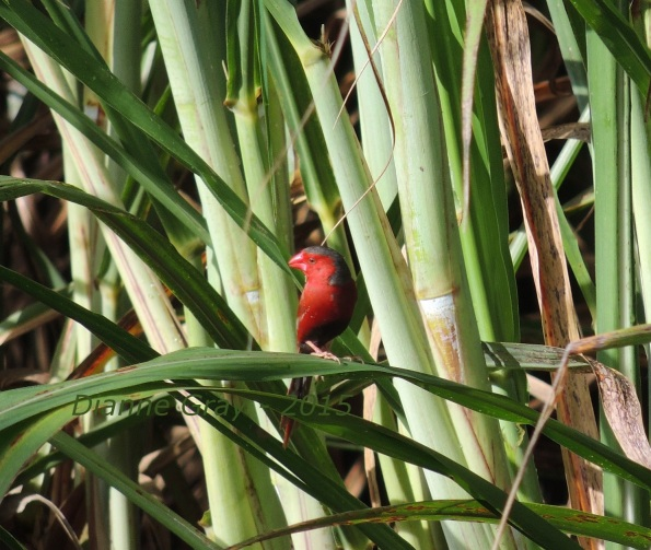 Red Finch Elvis