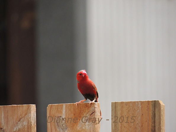 Red finch on fence smaller version