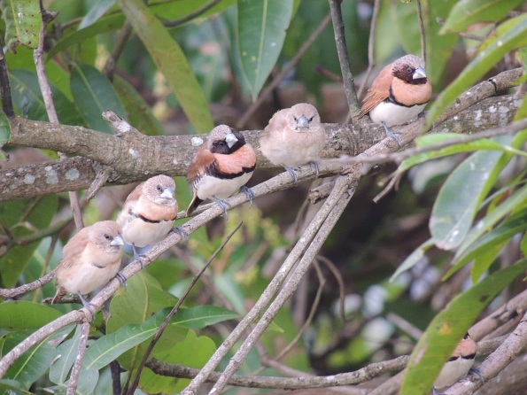 Brown finches